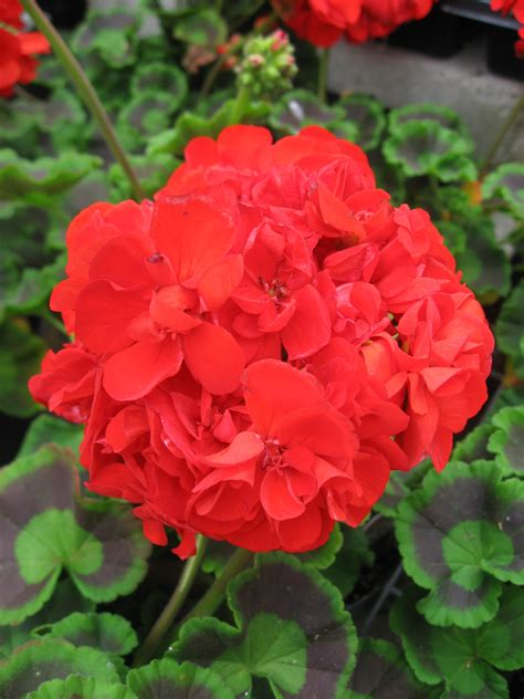 huntersgardencentrecom geranium red