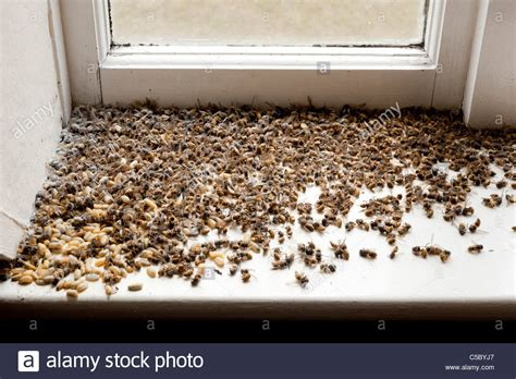 how to kill wasp in house dead wasps killed after infestation in dormer window of house stock photo royalty
