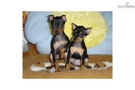 free miniature pinscher puppies meet a miniature pinscher puppy for sale for 650 mini pinscher 650