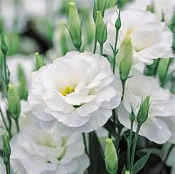 romantic flowers lisianthus flower