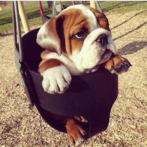 dog in baby swing cute bulldog puppy bulldogs pinterest