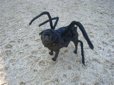 spider pug costume the spider