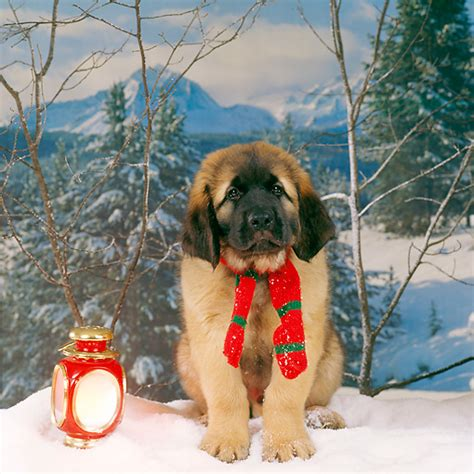 leonberger puppies price leonberger puppy breeds picture