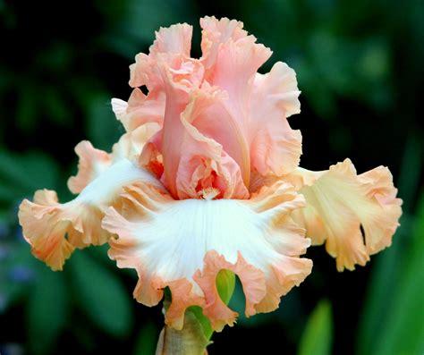 what color is iris world of irises quot talking irises quot bearded irises