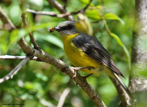 forest birds lisakimmorley com