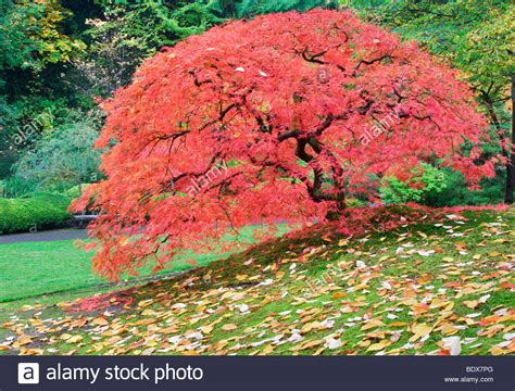 japanese maple tree in fall color portland japanese gardens oregon stock photo 25777768 alamy