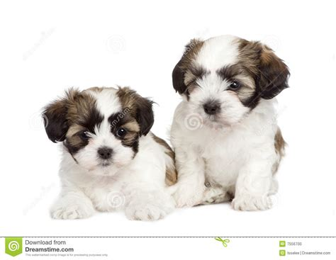 shih tzu mix breed puppy mixed breed shih tzu and maltese stock photo image 7556700