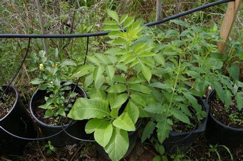 poisonous backyard plants garden plants that are poisonous pdf