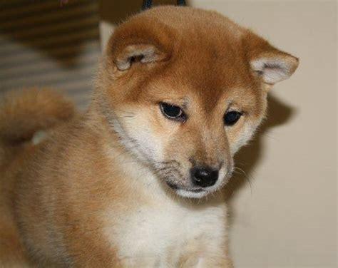 all breed puppy rescue ohio small breed rescue in ohio breeds picture