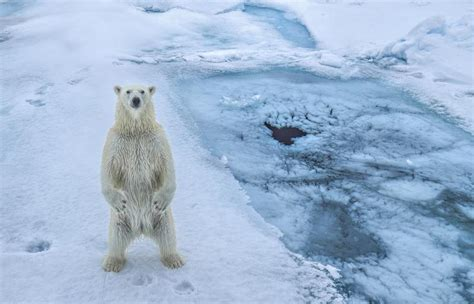 Two Polar Bears In A Bathtub by Polar Bears Trap Russian Scientists In Arctic Weather