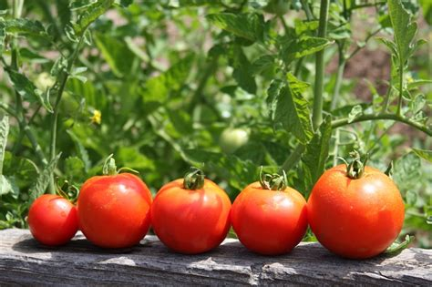 backyard tomatoes how to grow a garden when you don t have land off the
