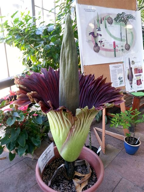 corpse flower  bloom  uw madison greenhouse