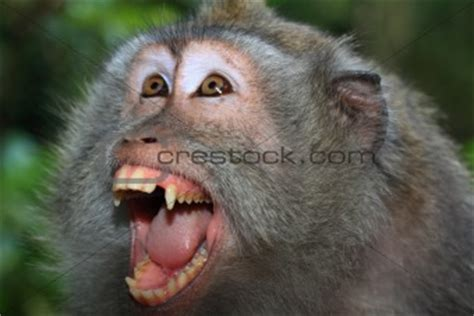 babbuini sedere rosso image 428422 angry monkey tailed macaque