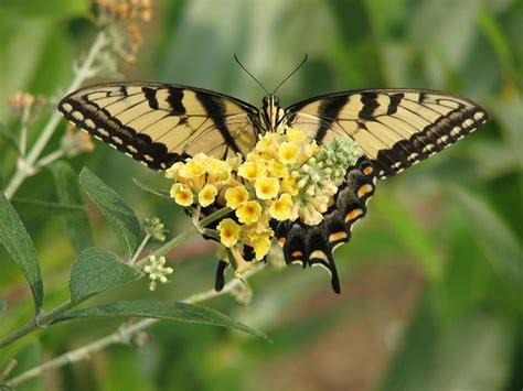 Delaware State Flower by Delaware State Butterfly Tiger Swallowtail Butterfly