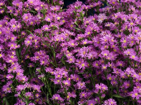 aster flowers wallpapers my note book aster flowers wallpapers amazing picture collection