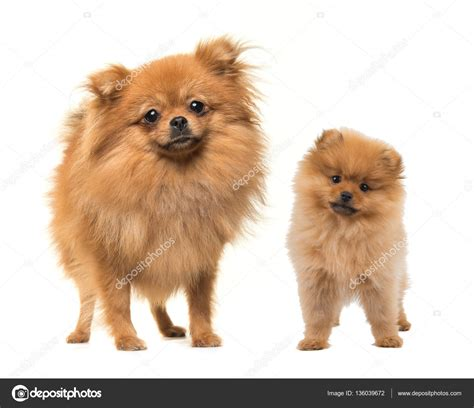 standing pomeranian and puppy standing pomeranian dogs stock photo 169 miraswonderland 136039672