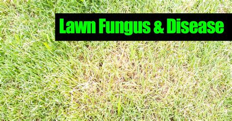how to get rid of grass rust fungus list of synonyms and antonyms of the word lawn fungus