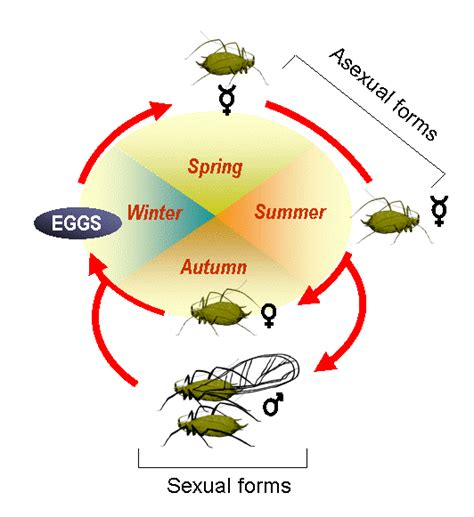 cycle of aphids diagram as many exceptions as males can t live without them