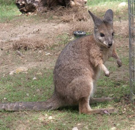 wallaby animal wildlife