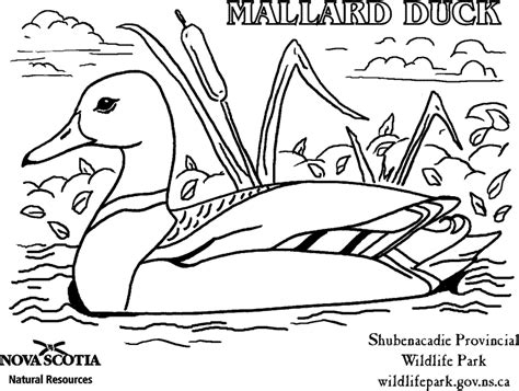 free coloring pages mallard duck mallard ducks colouring pages colorine net 15684