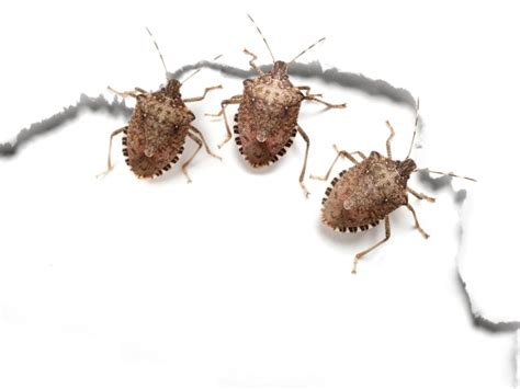 how to get rid of stink bugs in my house get rid of stink bugs with these easy tips today com