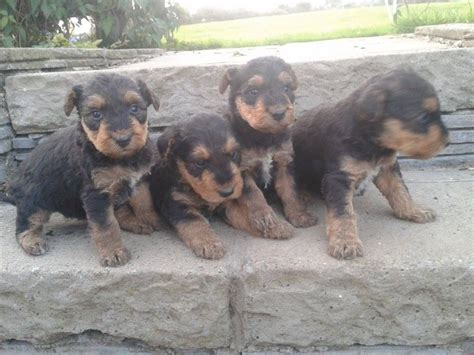 airedale puppies for sale puppies for sale in uk airedale terrier breeders links in the uk breeds picture
