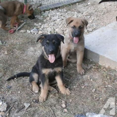 german shepherd puppies for sale in arkansas german shepherd belgian malinois puppies for sale in glencoe arkansas classified