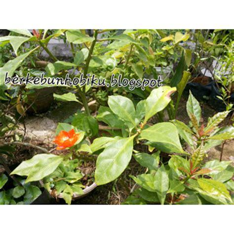 Jarum Pentul Daun berkebun hobiku khasiat pokok jarum tujuh bilah
