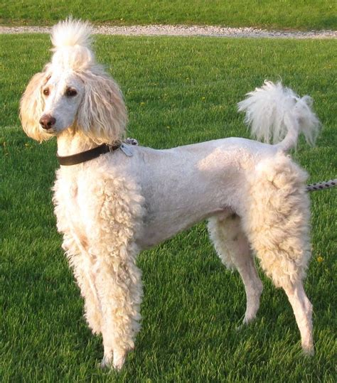 pictures of different types of poodle hair cuts 17 best images about grooming on pinterest poodles
