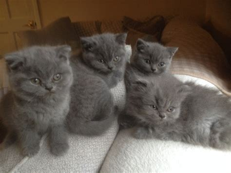 blue kittens for sale blue kittens for sale taunton somerset pets4homes