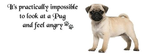 quotes about pugs 17 best images about pug quotes on pug pets and racism