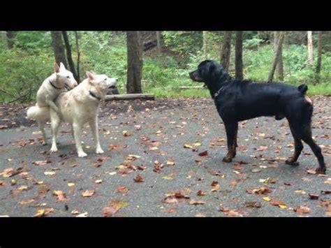 vs rottweiler rottweiler vs husky