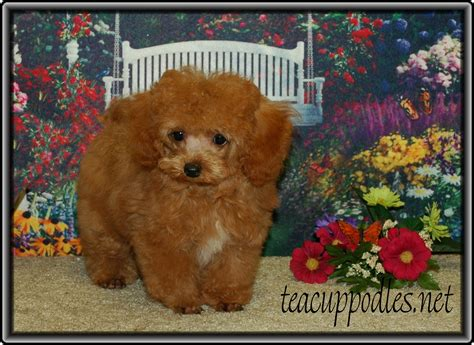 puppys for sale cheap free teacup puppies in breeds picture