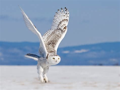snowy owl in flight my hd animals