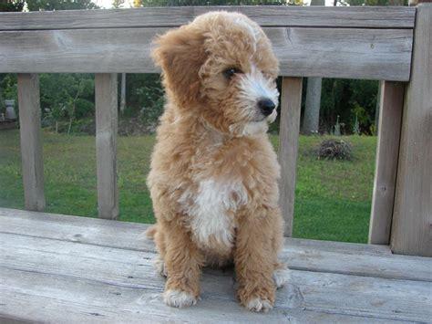 doodle puppy acres goldendoodle acres neenah wi 54956 920 725 5500