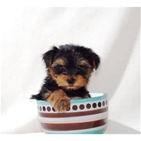 tiny teacup yorkies for sale in nc pets asheville nc free classified ads
