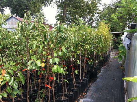 houston fruit tree sale starfruit and mangoes the bell house growing fruit