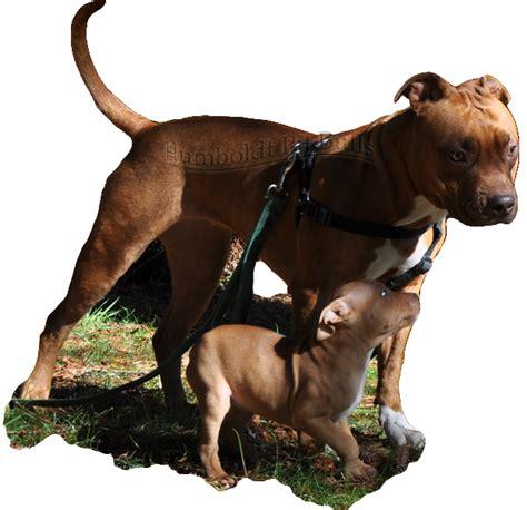 california pit nose pitbull breeders in california how do i make my