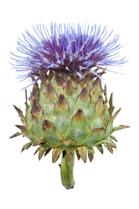 thistle flower in bloom on white stock photo image of