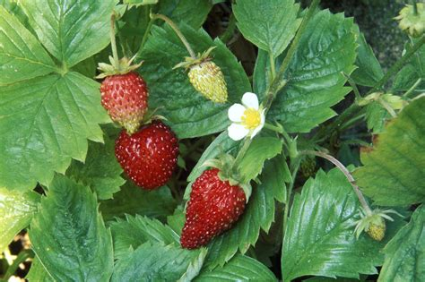 How To Plant Strawberries In A Strawberry Planter by Growing Strawberries In Containers