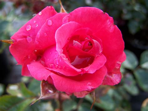 rose s hybrid tea rose for sale by mail order from east sussex