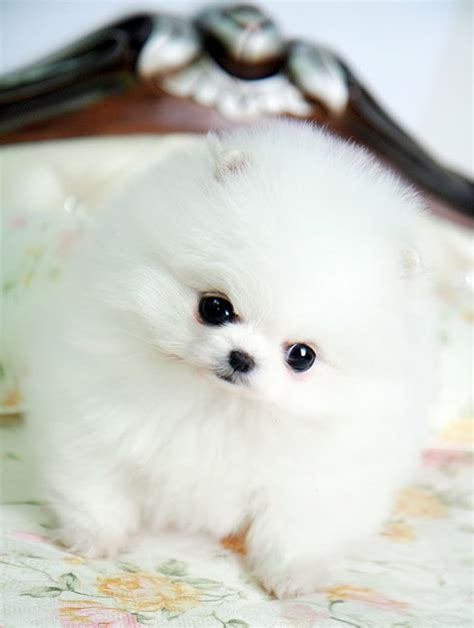 white fluffy teacup pomeranian puppies teacup white pomeranian pom pom puppy dogs similiar to the volpino italiano italian