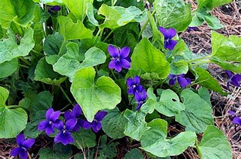 Fragrant Bedding Plants - plants to know module 4 week 2