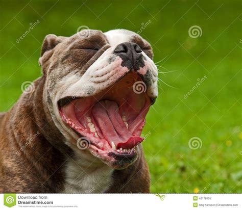 english bulldog yawning stock image image