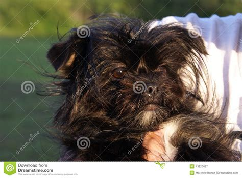 black yorkie black yorkie stock photo image 43220467