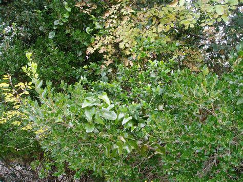 piante mediterranee da vaso arbusti e piante macchia mediterranea