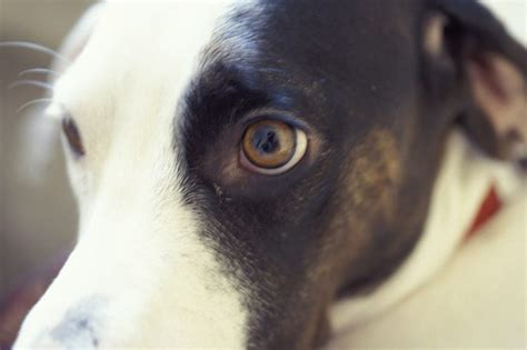 dilated pupils in dogs why would a enlarged pupils cuteness
