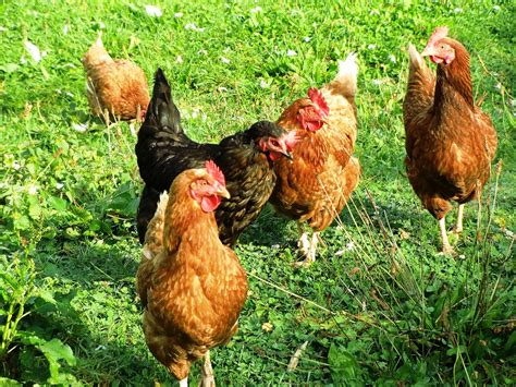 Backyard Chickens Need Rooster 11 Safety Tips For Handling Backyard Chickens Farm And Dairy