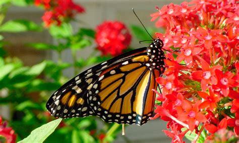 imagenes sobre mariposas mariposas monarca im 225 genes y fotos
