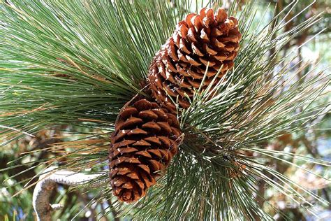christmas pine cones by mary deal